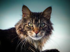 Kratzbaum fuer große Katzen Maine Coon